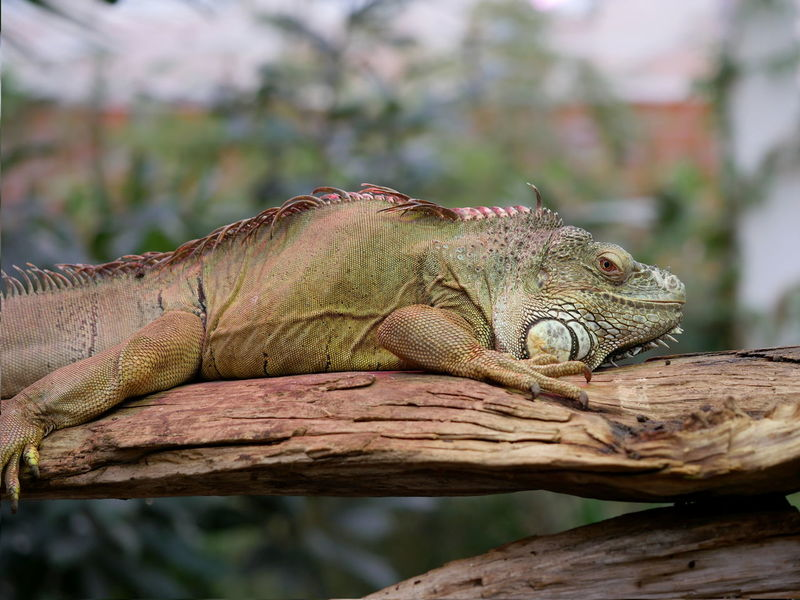 Iguana Animals Beautiful Blurred Background Leguan Lizard Macro No People Reptile Tree Trunk From My Point Of View Animal Themes Taking Photos Alertness Animal Body Part Claw Perspective Claws Close Up Close-up