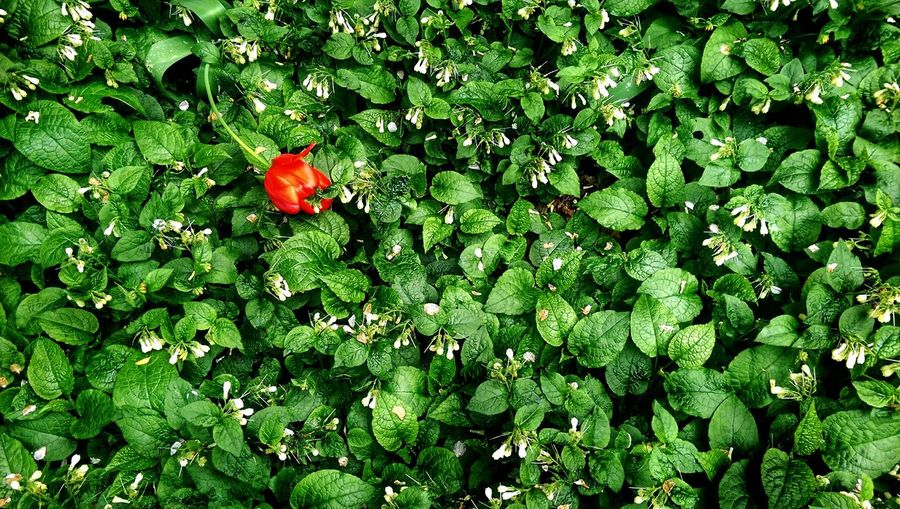 Red tulip among green bushes