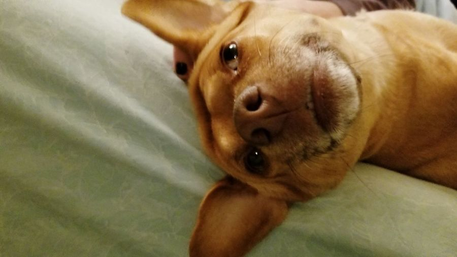 Dog Photography Dog Dog Face Dog Smile Happy Ears Lazy Wrinkles Brown Dog Cute Pets Portrait Dog Lying Down Looking At Camera Close-up Snout Animal Face
