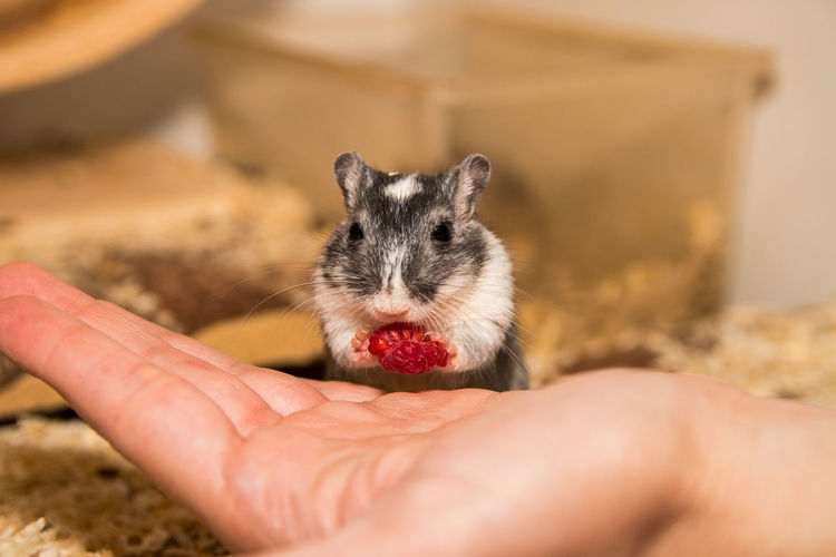Animales Frambuesa Gerbil Hungry Maus Rennmaus Tiere Animal Themes Animals Cute Domestic Animals Eating Focus On Foreground Food Himbeeren Holding Hungrig Mouse One Animal Pet Raspberry Ratón The Week On EyeEm