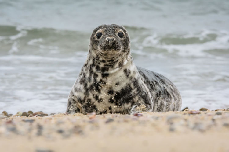 Portrait of seal at beach