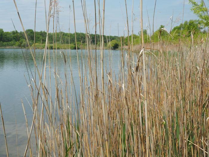 Beauty In Nature Calm Grass Growing Growth Lake Nature No People Outdoors Plant Tranquil Scene Tranquility Water EyEm Selects Plant Life Young Plant Lakeside Countryside Sandy Beach Reed - Grass Family Wetland Timothy Grass Marram Grass Cattail Wilderness Grass Family