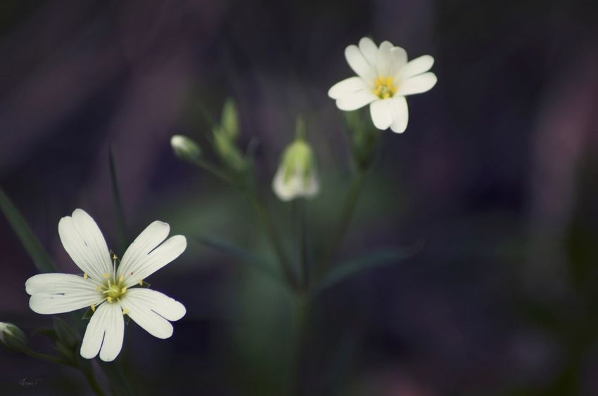 NikonForever Fleurs Flowers, Nature And Beauty Floweroftheday Flowers Spring Flowers Flower Collection Flower ©Floriane F. Bestoftheday Nikonphotography Nikond3200 EyeEm Nature Lover Nature_collection Eyem Best Shots Nature_collection