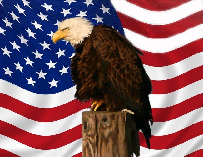 Bald Eagle With Flag 303145