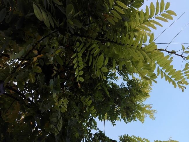 Acacia Tree Acacia Leaves Acacia Branches Acacia Acacia Leaf Low Angle View Nature Tree Sky No People Selected For Premium WOLFZUACHiV PREMiUM Outdoors Branch Close-up No Person WOLFZUACHiV Photography Huawei Photography On Market WOLFZUACHiV Photos Wolfzuachiv Veronica Ionita Ionita Veronica Eyeem Market Huaweiphotography Summer Exploratorium