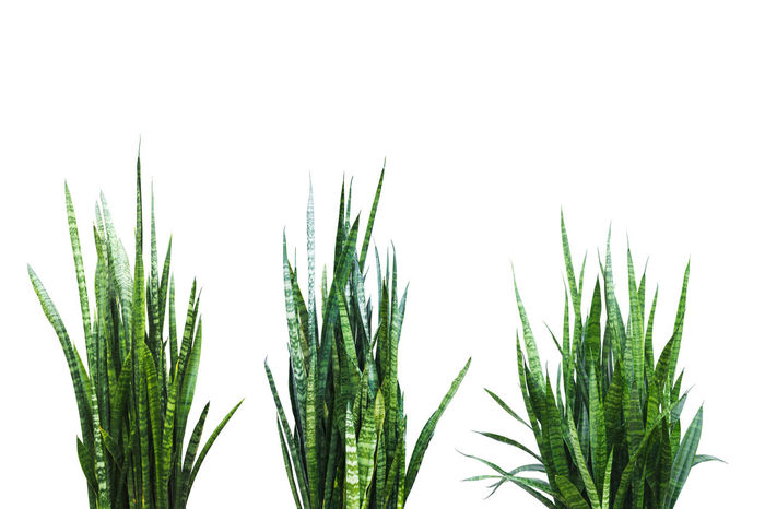 Green and fresh Aloe Vera plant isolated on a white background. Growth Plant White Background Green Color Studio Shot Close-up No People Nature Beauty In Nature Leaf Clear Sky Plant Part Day Sky Freshness Copy Space Focus On Foreground Indoors  Tranquility Bamboo - Plant