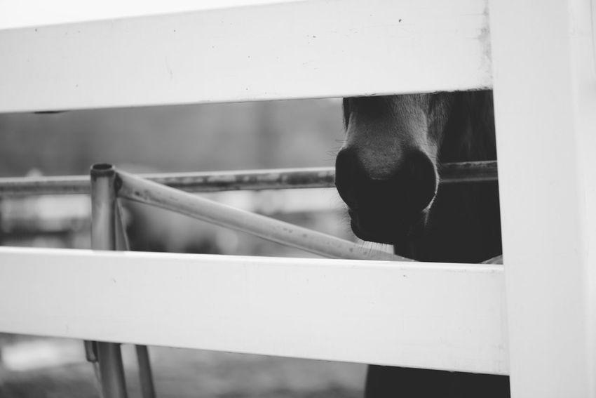 Blackandwhite Photography Fine Art Photography Taking Photos 105mm Nikond600 UCONN Nikkor Horse Horses Ilovehorses