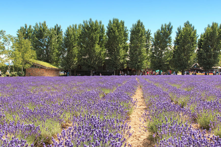 Furano, Japan - July 8,2015: Lavender field in Furano, Hokkaido with some tourists walking by in the background ASIA Beauty In Nature Biei Blue Clear Sky Field Flower Flowers Fragility Freshness Furano Growth Hokkaido Japan Nature Otaru Outdoors Petal Scenics Spring Surface Level Tranquil Scene Tranquility Travel Tree