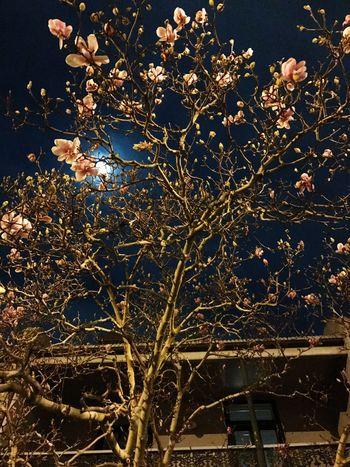Magnolia In Bloom Moonlight Beauty In Nature Cityscape Architecture Illuminated Terrace House Sydney