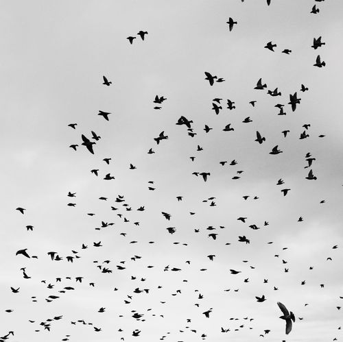 Large Group Of Animals Flock Of Birds Animals In The Wild Bird Animal Themes Flying Animal Wildlife Mid-air Togetherness Day Silhouette Nature Sky Beauty In Nature Outdoors No People