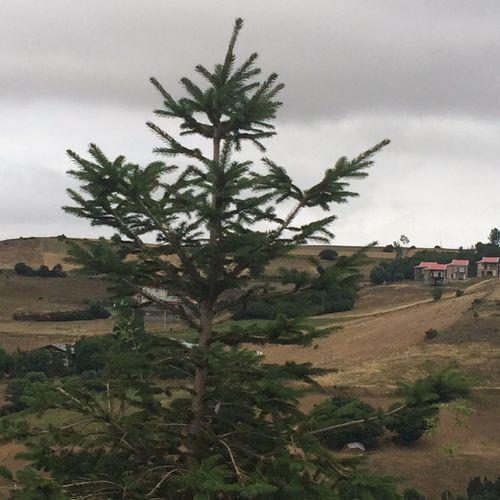 Iran Gilan Deylaman Solitude View Pine