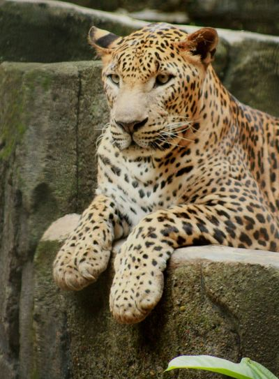 Maca Tutul.. Leopard EyeEmNewHere Enjoying Life EyeEm Nature Lover Macan Macantutul One Animal Animal Themes Animals In The Wild Mammal Leopard Animal Wildlife Sitting Day Outdoors Nature EyeEm Ready