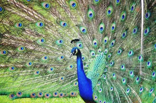 Birds Peacock Beatifull Hello World Colors Colorful