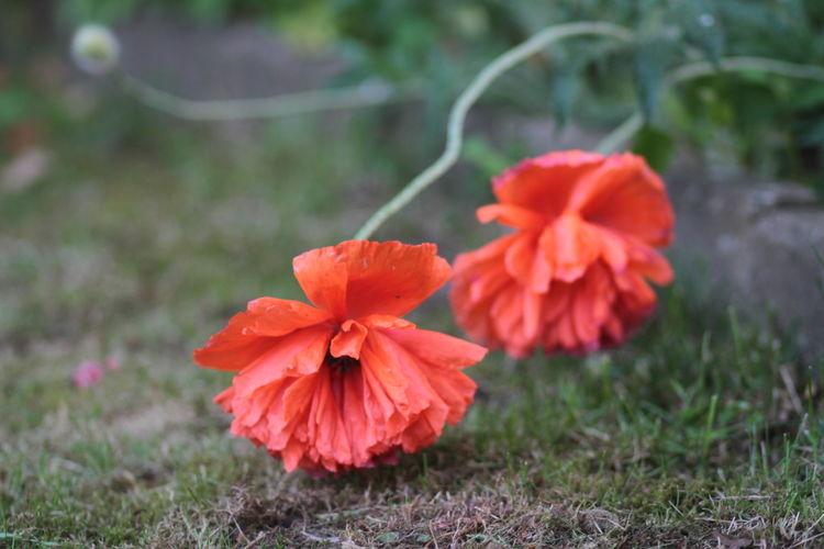 Mohnblume Poppy Ponceau Orange Scarlet Scarlet Päony Klatschmohn Papaver Peony Poppy