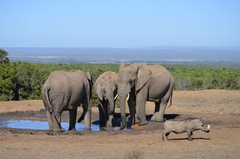 Warthog walking by african elephants drinking water from puddle at addo elephant national park