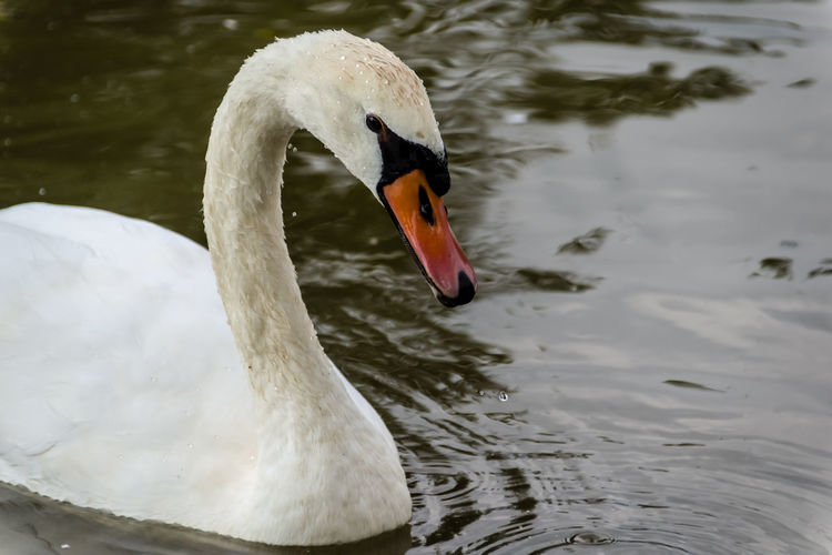 Animal Animal Head  Avian Beak Beauty In Nature Bird Close-up Day Flamingo Floating On Water Focus On Foreground Lake Mallard Duck Mute Swan Nature Nature No People Outdoors Rippled Swan Water Water Bird White White Color