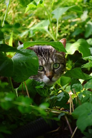Cat Green Eyes Green Background Animal Themes Animal Head  Animal Eye Animal Photography Animal Representation Animal Hair Animal Nose Animal Face Outdoor Photography Day Sunlight Sunshine Leaf Looking At Camera Eye Close-up Green Color Plant Animal Eye Animal Ear Animal Mouth Cat Snout