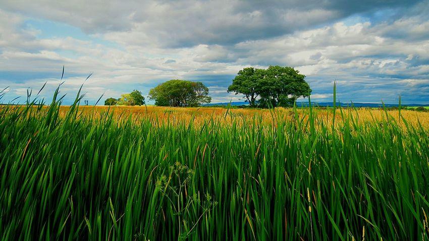 Arbres Paysage D'été Campagne Vert Jaune Bäume Landschaft Kampagne Alberi Paesaggio Campagna Arboles Paisaje árvores Paisagem Fields Summer Landscape Green Nature Countryside Ileauxgrues Quebec, Canada RemiB 100813-2