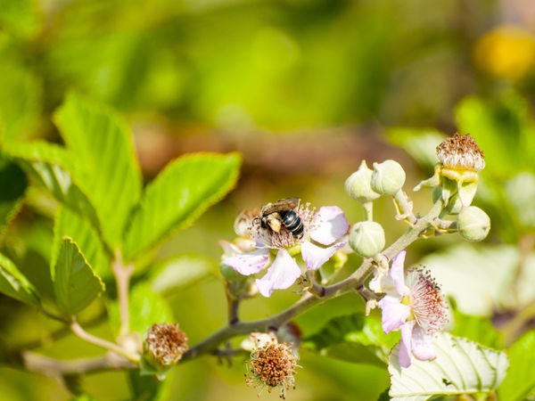 Animal Themes Animal Wildlife Animals In The Wild Beauty In Nature Bee Bees Bumblebee Buzzing Close-up Environment Flower Flower Head Fragility Freshness Growth Insect Nature One Animal Plant Pollination Pollinator Pollinators Rubus Spring Springtime