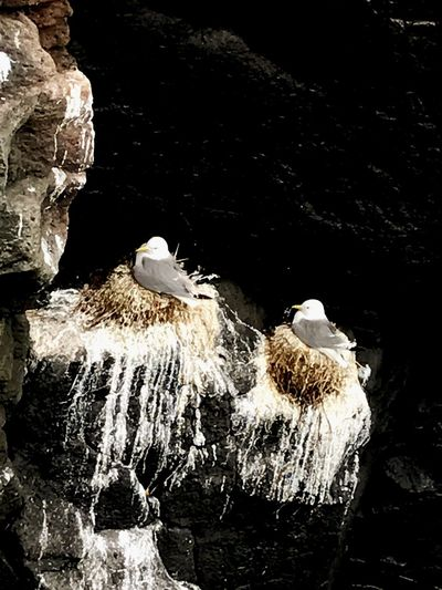 Seagulls in the Mountain Rocks Animals In The Wild Seagull Seagulls Animal Themes One Animal Animal Wildlife Rock - Object Nature Bird No People Nest Black Background Close-up Beauty In Nature Mountain Lava Pidgeon  Animals Iceland