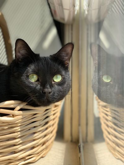 Basket Cat Reflection Looking Out Of The Window Cat In A Basket  Basket Green Eyes Black Cat Cat Animal Themes Feline Pets Animal Domestic Domestic Cat Looking At Camera Portrait Indoors  Focus On Foreground Whisker Close-up Home Interior