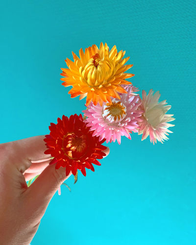 Close-up of hand holding flower against blue background
