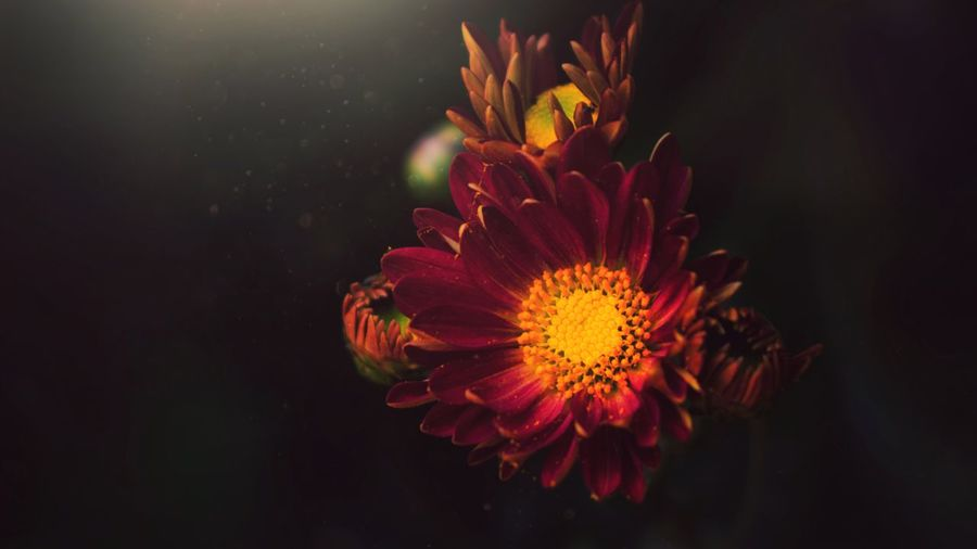 Lights are stronger in the contrast. Red No People Multi Colored Night Nature Outdoors Close-up Beauty In Nature Black Background Flower Head EyeEmNewHere Art Is Everywhere Nature Springtime Beauty Photography Color Freshness Sunflower Autumn Beauty In Nature Spotlight Kerala Flower Live For The Story EyeEm Selects