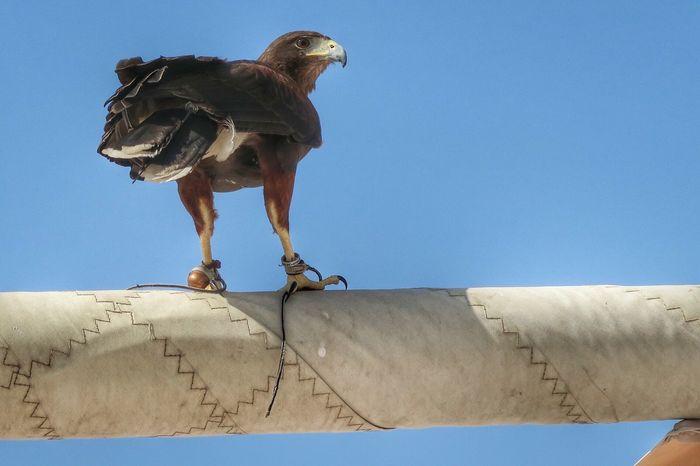 Mar 2016: while having lunch at Dubai Creek Golf club we saw this little fella Eagle Bird Photography Birdofprey Canon G7X