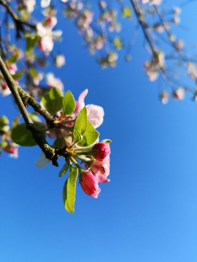 Flower Flower Head Branch Tree Blue Leaf Close-up Sky Plant Blossom Twig In Bloom Apple Tree Plant Life Pollination Apple Blossom Botany Pollen Fruit Tree