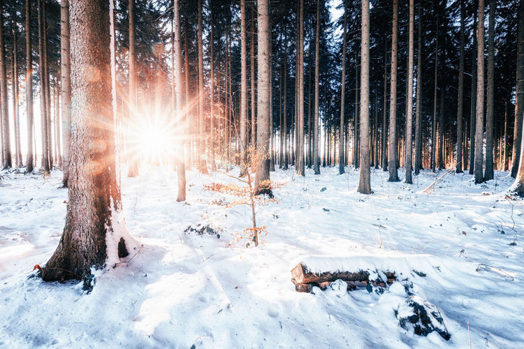 Snow Winter Cold Temperature Tree Land Plant Nature Forest Scenics - Nature Beauty In Nature White Color Day Sunlight Non-urban Scene Tranquility Tranquil Scene No People Environment Tree Trunk Sun Snowing Outdoors Lens Flare Pine Tree