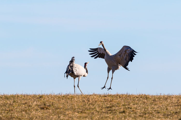 Dancing couple of cranes on the field