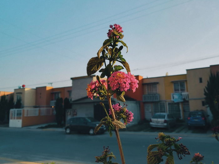Close-up of flowering plant against building