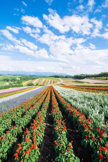Field Nature Beauty In Nature Landscape Sky Cloud - Sky Flower Scenics Plant Outdoors Freshness Japan Furano