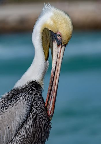 A pelican in Florida Animal Themes Animal One Animal Animal Wildlife Animals In The Wild Bird Vertebrate Focus On Foreground Beak No People Close-up Animal Body Part Water Day Side View Nature Animal Head  Pelican Animal Neck