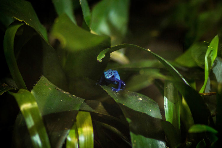 Blue Poison Arrow Frog On Leaf