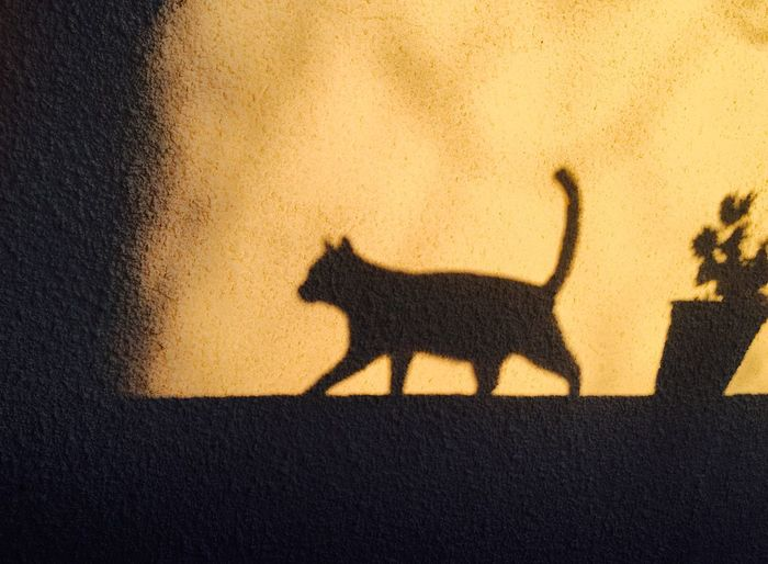 Cat Shadow Cat Shadow Cat Shadow On The Wall Cat Silhouette Cat Sunset Beautiful Cat Beautiful Shadow Amazing Cat Yellow Cat Shadow