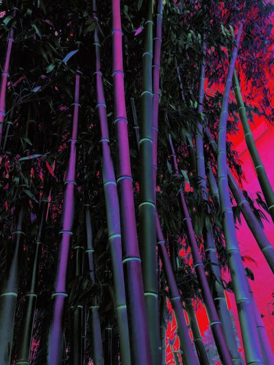 Weird bamboo Nopeople Texture Tree Plant No People Bamboo - Plant Low Angle View Nature Growth Bamboo Bamboo Grove Outdoors Beauty In Nature Full Frame Pink Color Land Large Group Of Objects Forest Backgrounds Abundance Day Pattern