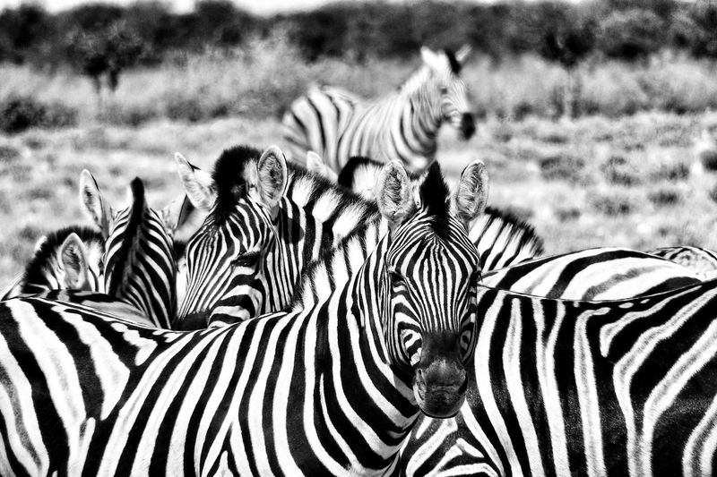 Showcase April Black And White Collection  Blackandwhite Blackandwhitephotography Black And White Photography Black&white Blackandwhite Photography Black & White Black And White Zebra Zebras Zebra♥ Nature's Diversities Fine Art Photography Fine Art