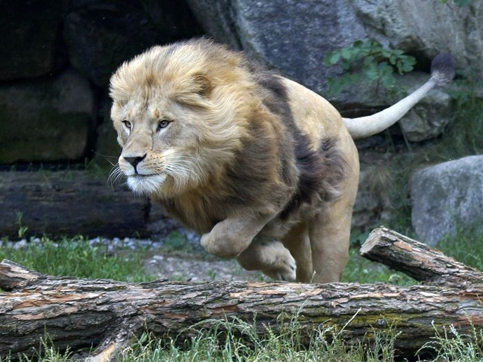 Close-up of leaping lion