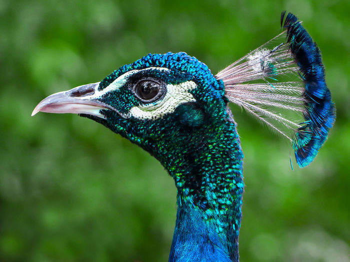 Beautiful Peacock Feathers Nature Animal Animal Crest Animal Head  Animal Themes Animal Wildlife Animals In The Wild Artphotography Beak Beauty In Nature Bird Blue Bluefeathers Close-up Feather  Focus On Foreground Green Color Nature Naturephotography Naturepic One Animal Paon Peacock Peacock Feather