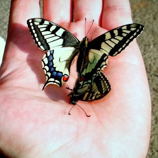 Couple de Machaon Human Hand Butterfly - Insect Insect Spread Wings Animal Wing Close-up Butterfly Pollination Symbiotic Relationship