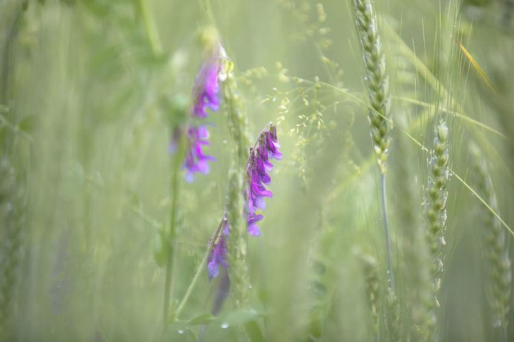 Close-up of purple crocus on field