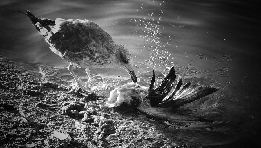 Cannibal seagull The Storyteller - 2014 Eyeem Awards The Street Photographer - 2014 EyeEm Awards The Moment - 2014 EyeEm Awards Streetphoto_bw