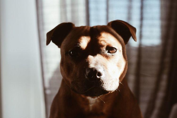 Close-up portrait of pit bull terrier
