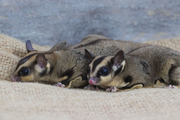 Animal Animal Family Animal Themes Canine Dog Domestic Domestic Animals Looking At Camera Lying Down Mammal No People One Animal Pets Portrait Puppy Relaxation Sand Small Sugar Glider Vertebrate Young Animal