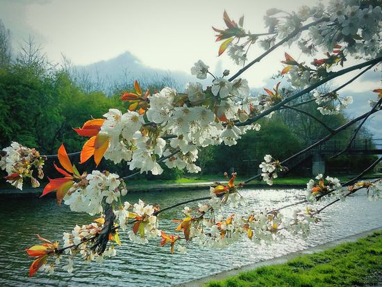 Blossom Blossom Tree Blossom Flowers New Leaves Trees Canal Towpath Water Sky And Clouds