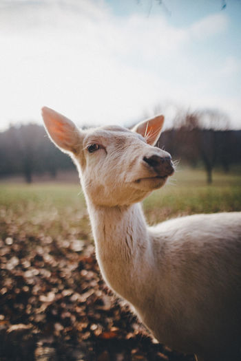 Close-up of a deer on land