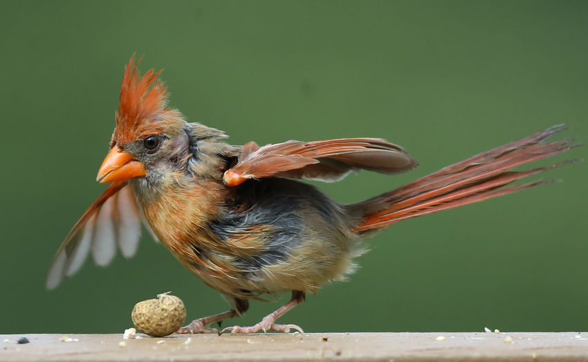 Wings aflapping Northern Cardinal Animal Animal Themes Animal Wildlife Animals In The Wild Beak Beauty In Nature Bird Flapping Wings Full Length Nature Peanut Perching