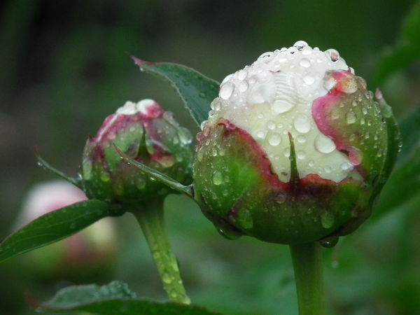 Beauty In Nature Drop Flower Head Freshness Outdoors Pion Rain RainDrop