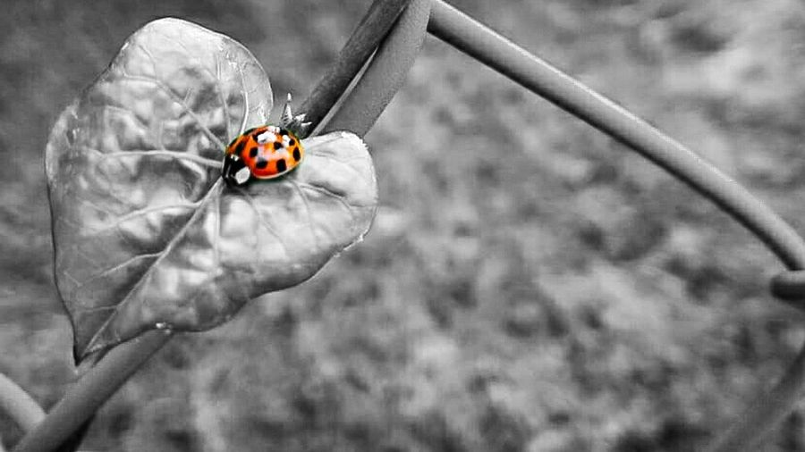 Lady bug III Nature Leaf Ladybug🐞 Black And White Color Insect Close-up Ladybug Tiny Bug Animal Antenna